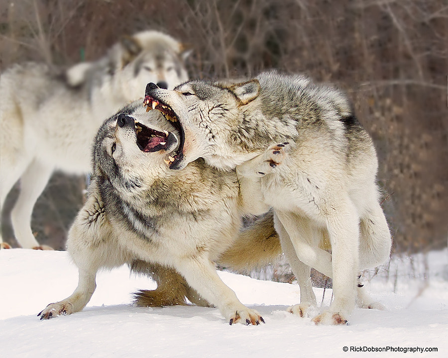 Photograph Timber Wolves by Rick Dobson on 500px