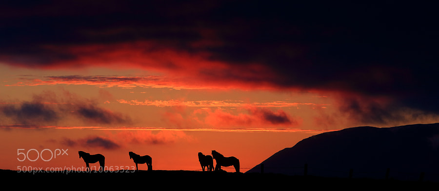 Photograph Horses in the sunset by Jon Hilmarsson on 500px
