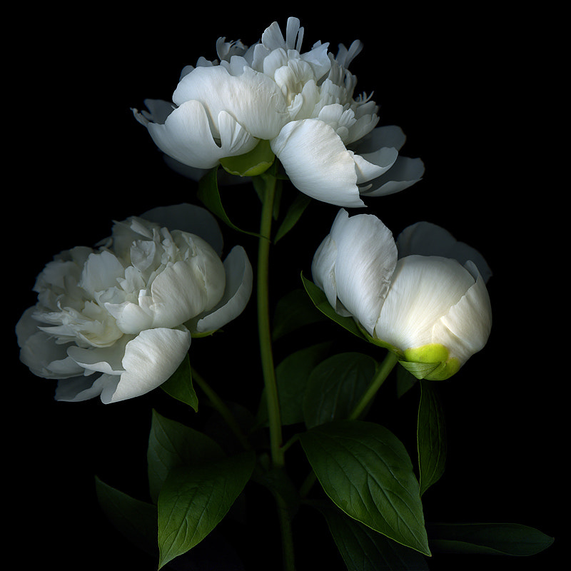 Photograph  BLANC de BLANCS, white-peonies for CELEBRATION... 1000!!! by Magda Indigo on 500px
