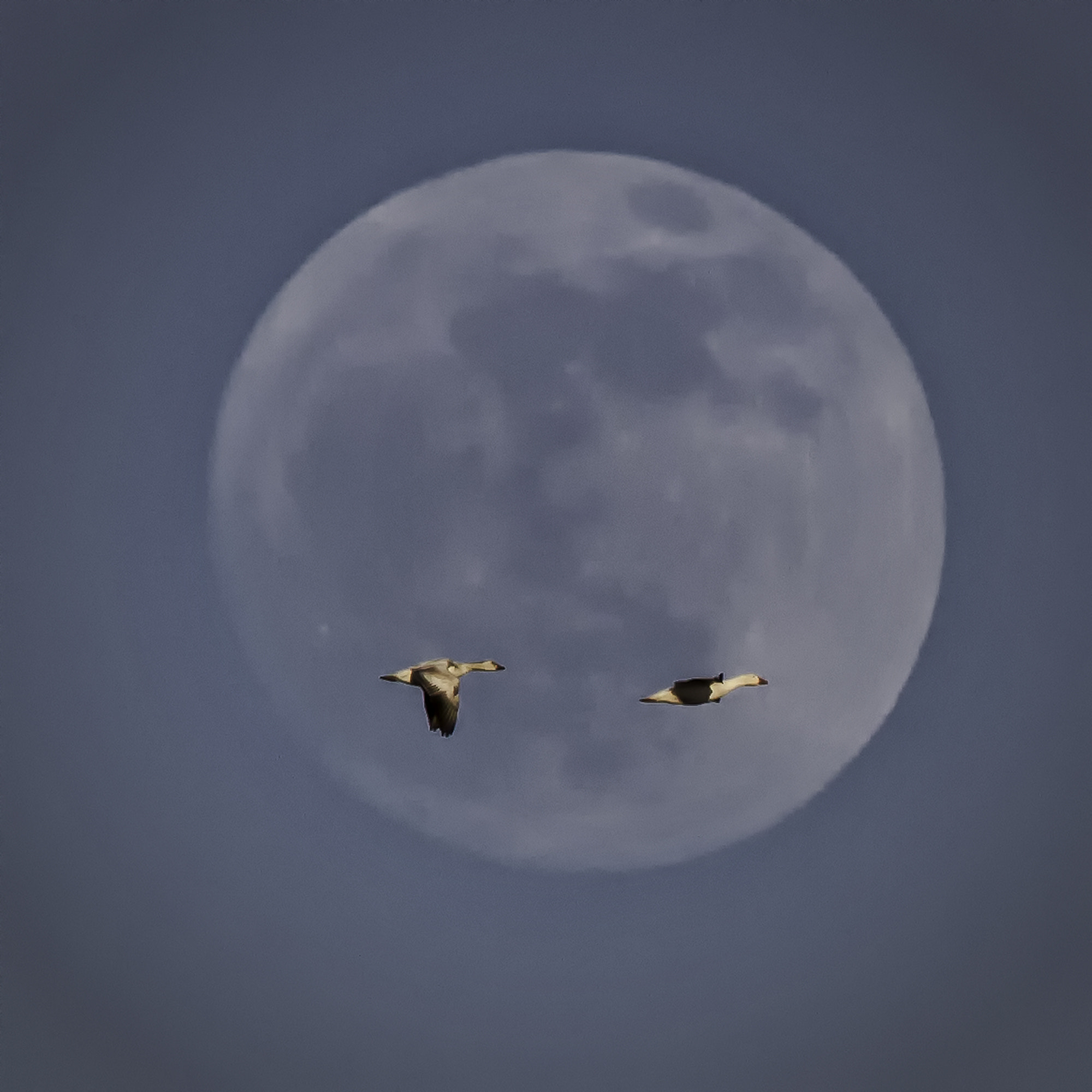 Photograph Moon Geese by Jerry Fleury on 500px