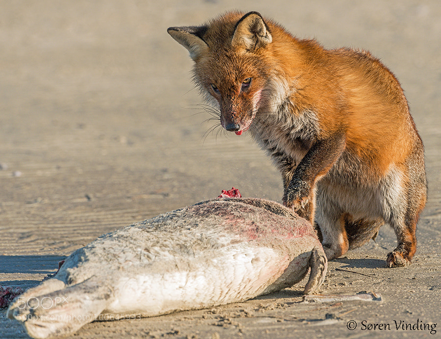Fox eating a seal