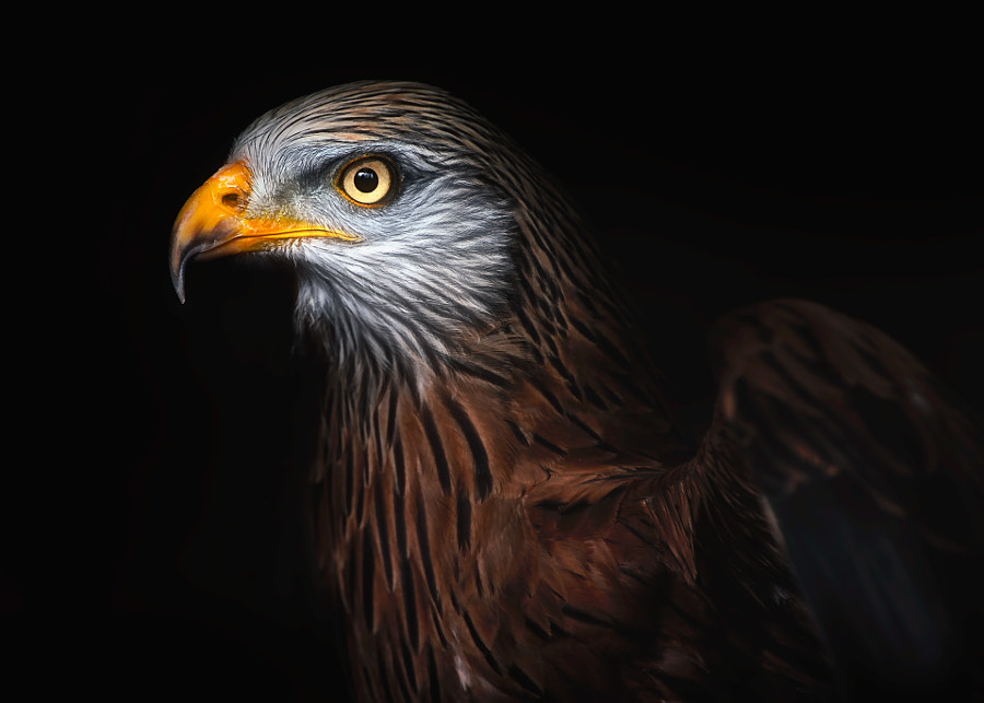Red kite portrait II by Santiago Pascual Buyé on 500px.com