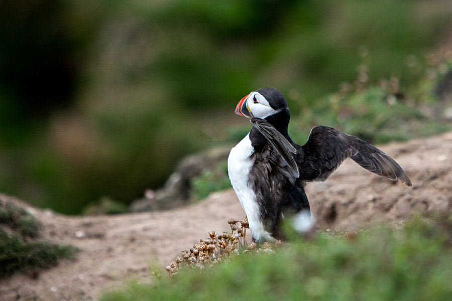 Puffin by Milo Denison on 500px.com