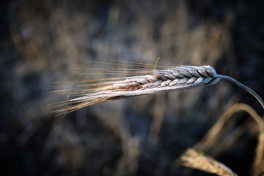New barley by Nick Hood on 500px.com
