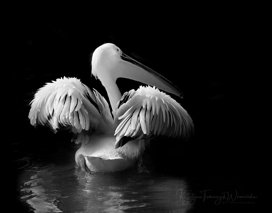 Great White Pelican by Krystina Wisniowska on 500px.com
