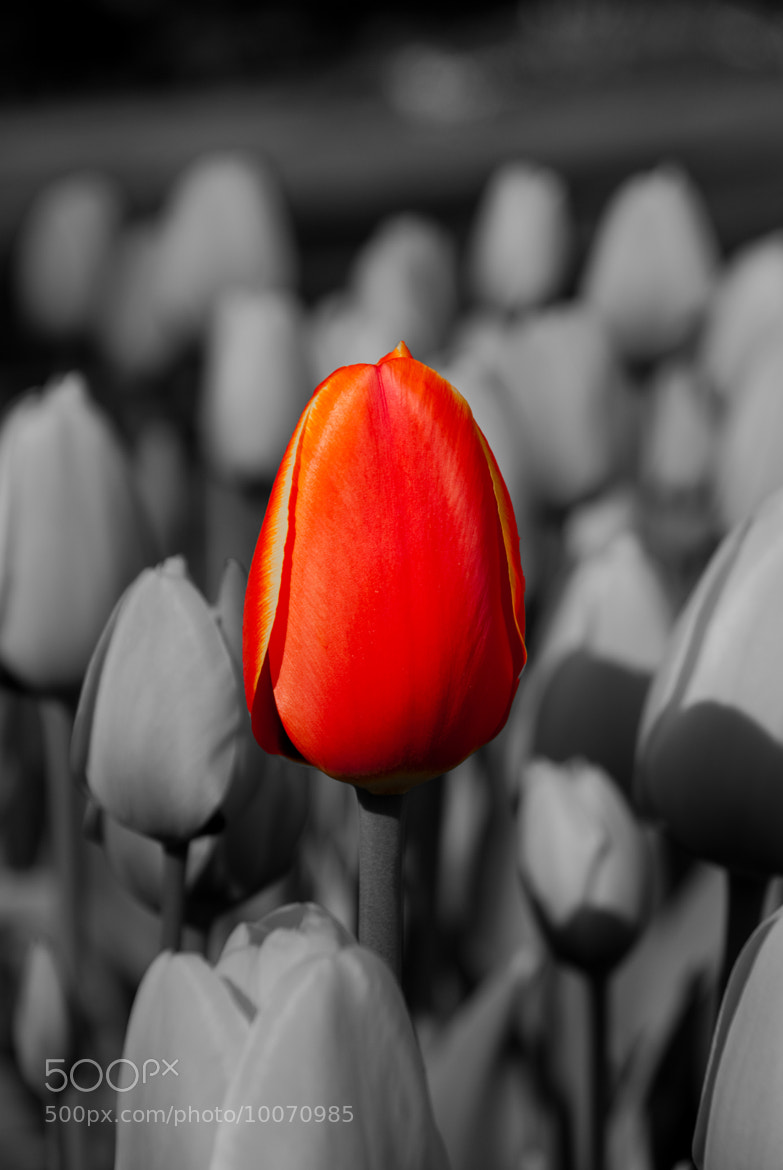 Photograph Red tulip by Andrea Spallanzani on 500px