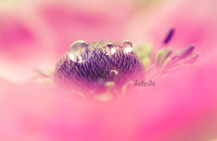 Photograph Anemone 17 by Wei-San Ooi  on 500px
