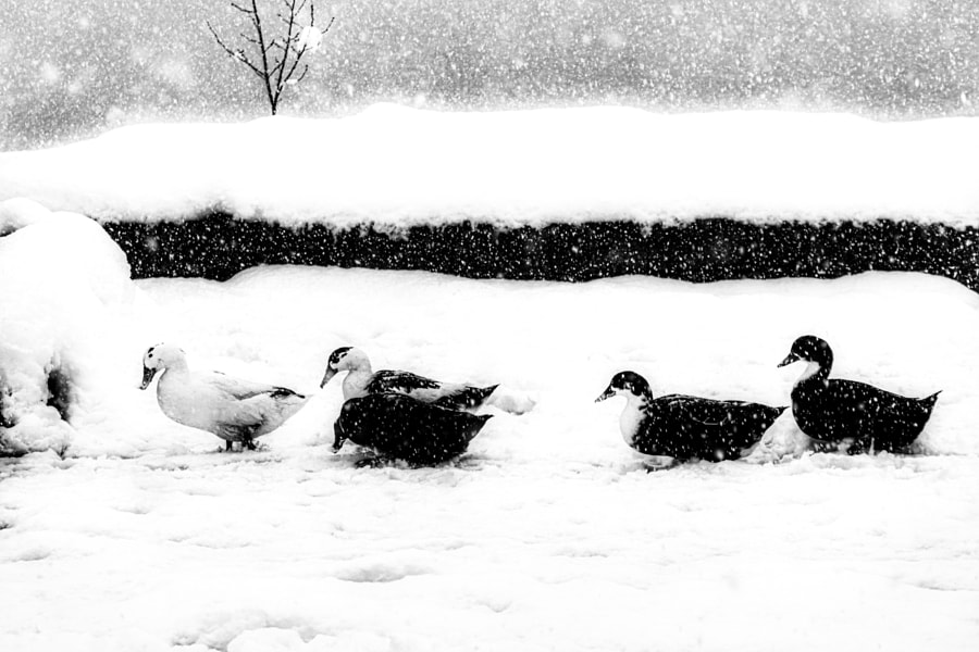 Birds on snow by Vahid Yavari on 500px.com
