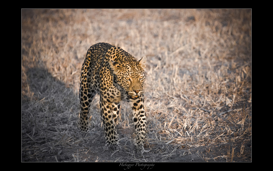 Leopardess, Savute Channel, Botswana
