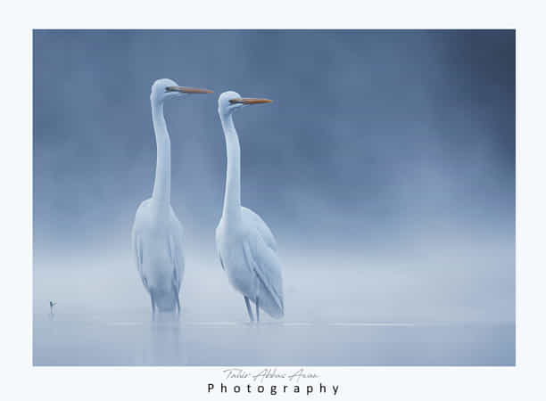 Realistic Great White Egrets in the morning by Nature images