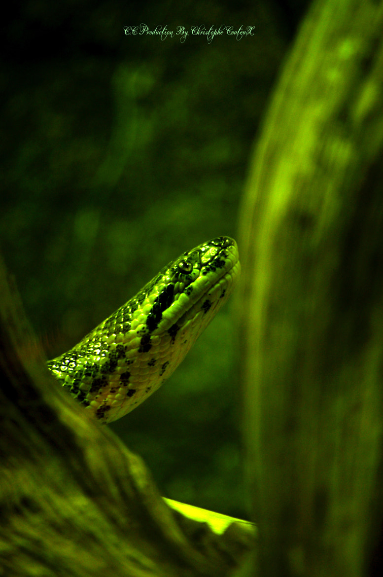 Photograph Green snake by C.C Production By Christophe Couteux Christophe Couteux on 500px