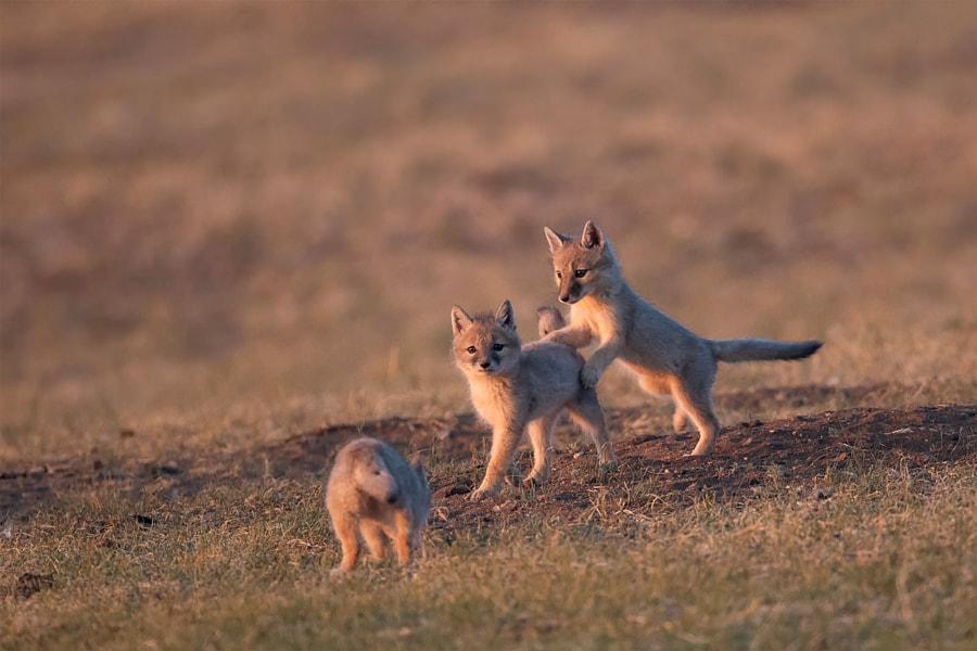 嬉戏的小狐狸。 by 虎皮鹦鹉  on 500px.com