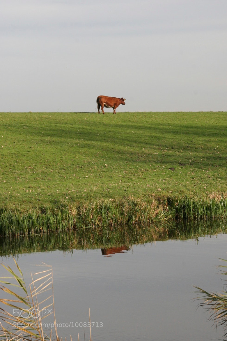 Photograph Dutch Cow by Mark van der Sluis on 500px