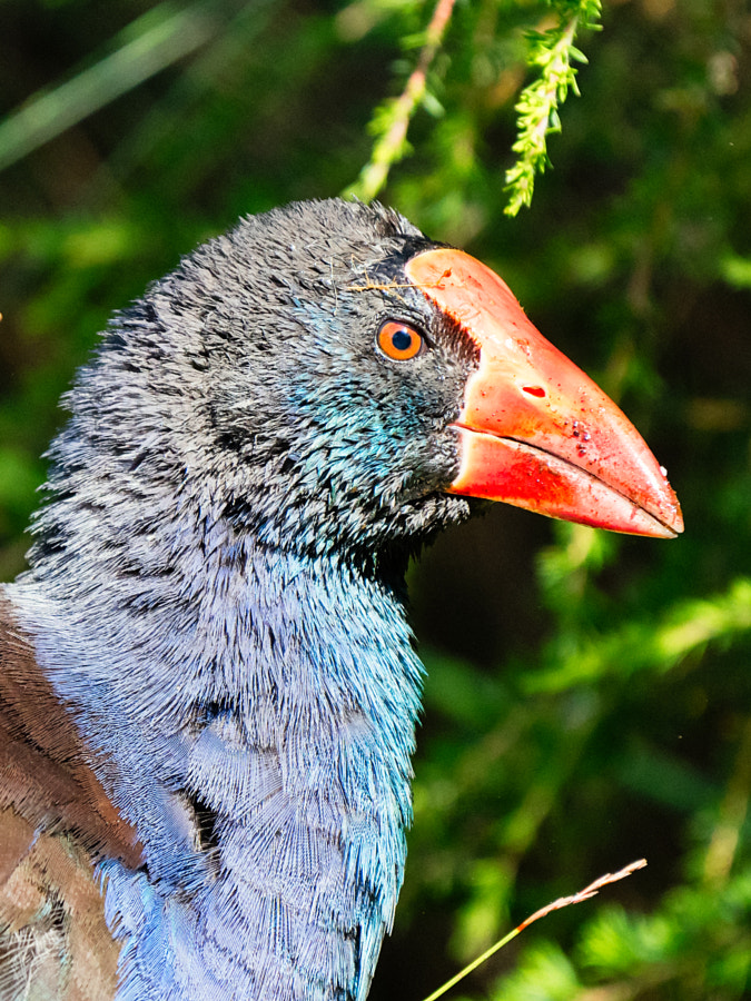 Purple swamp hen by Paul Amyes on 500px.com