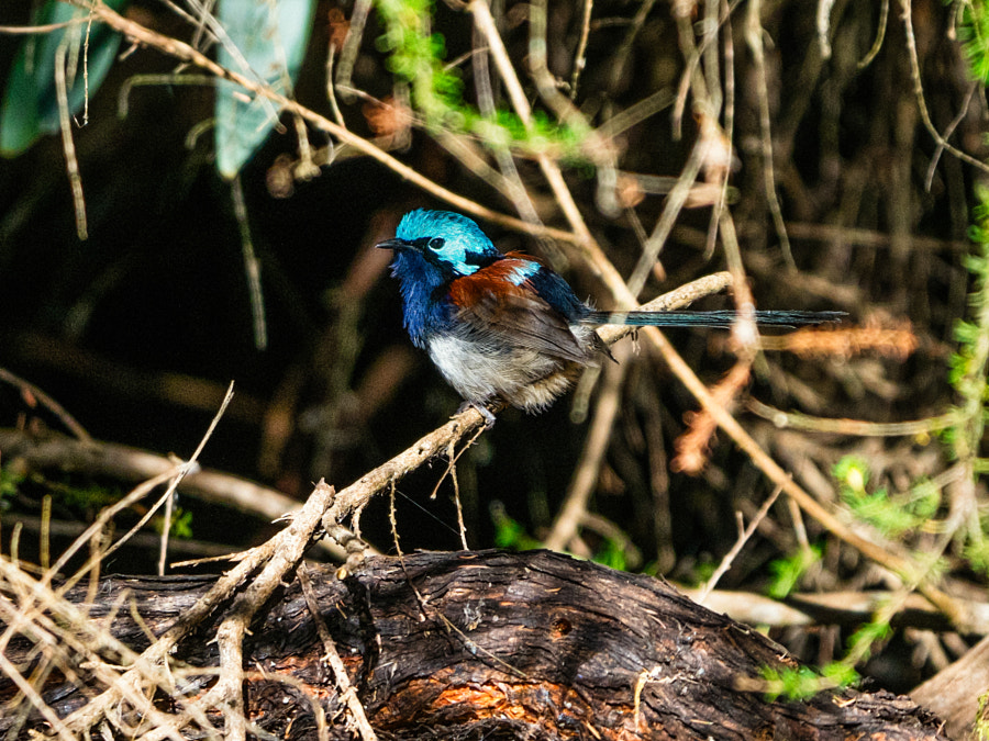 Red-winged Fairy-wren by Paul Amyes on 500px.com