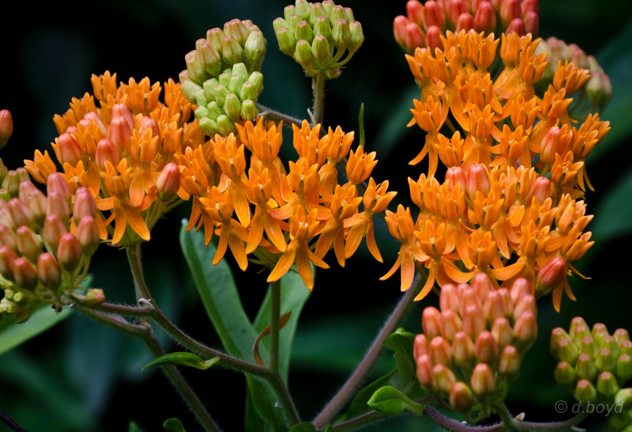 Photograph Butterfly Weed by Diana Boyd on 500px