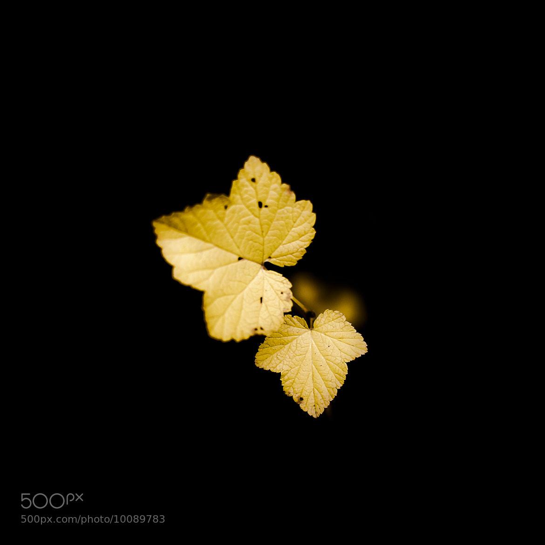 Photograph Petites feuilles jaunes by laurent lavergne on 500px