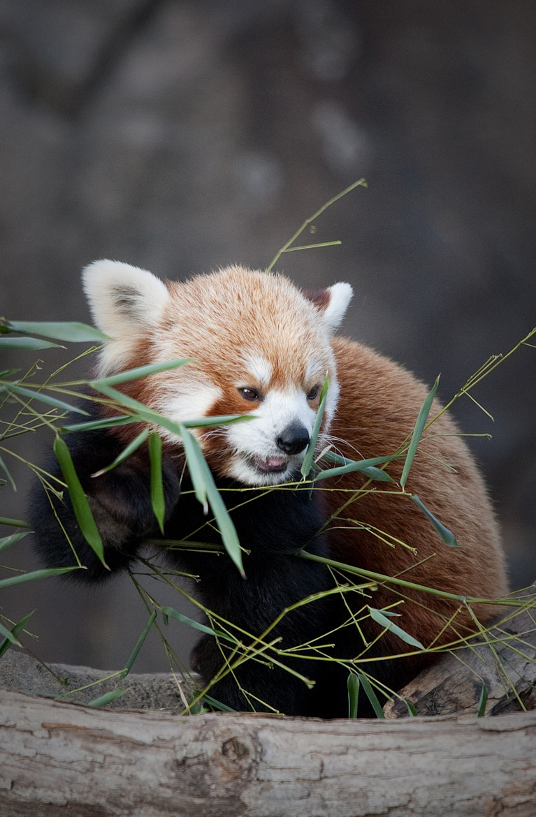 Photograph Red Panda! by Brad Denny on 500px