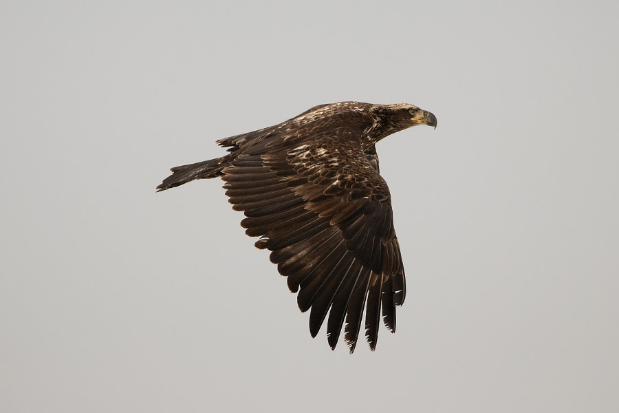 Young Bald Eagle by Geoff Smith on 500px.com
