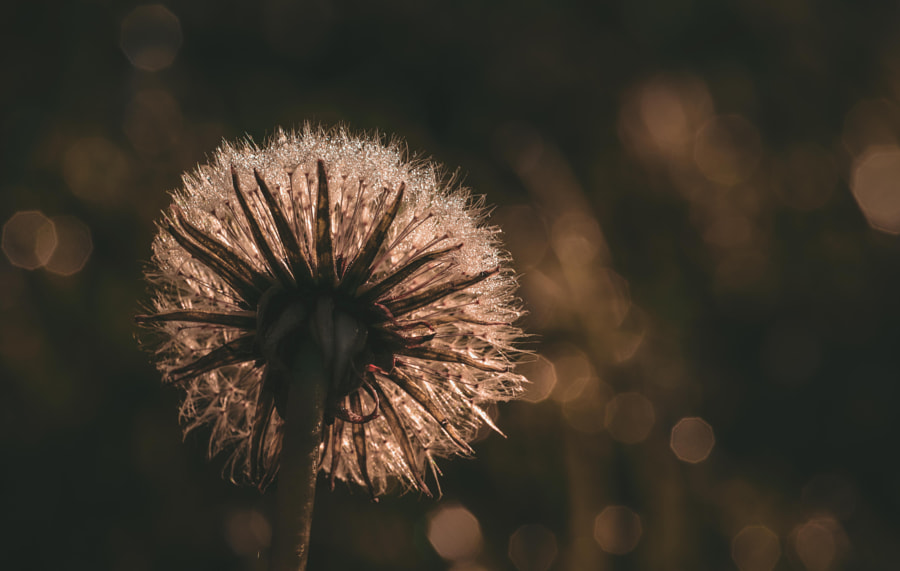 Dandelion... by Pascal ROQUES on 500px.com