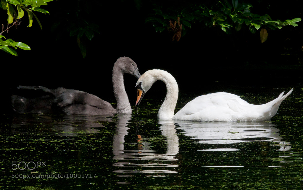 Photograph Adult Mute Swan with Cygnet by Jonathan Nicholson on 500px
