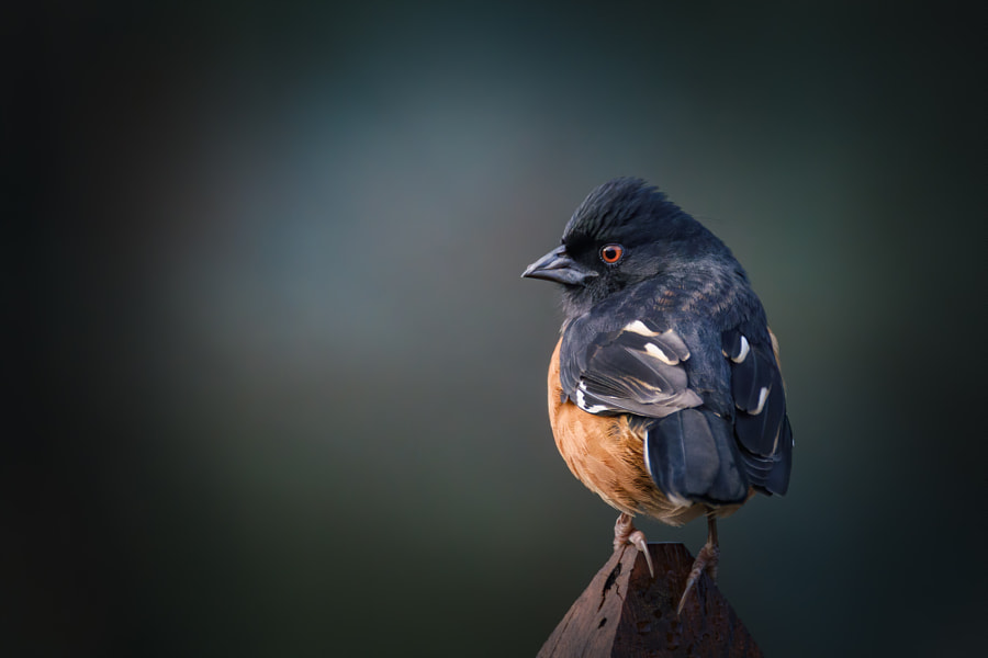 Sunrise on an Eastern Towhee by Kip Stahl on 500px.com
