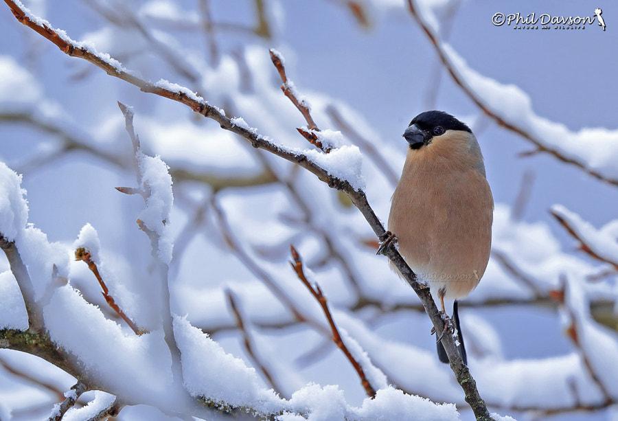 Weiblich Gimpel im Schnee by Phil Davson on 500px.com