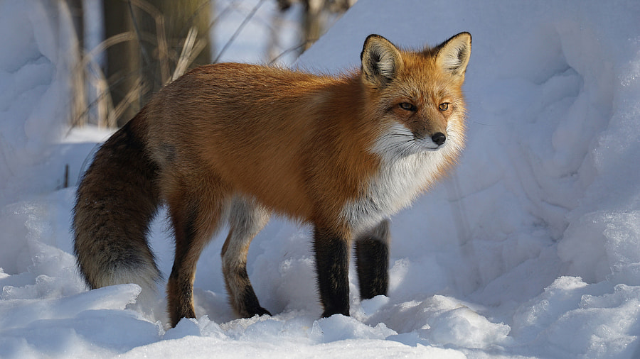 Red Fox by Irene  on 500px.com