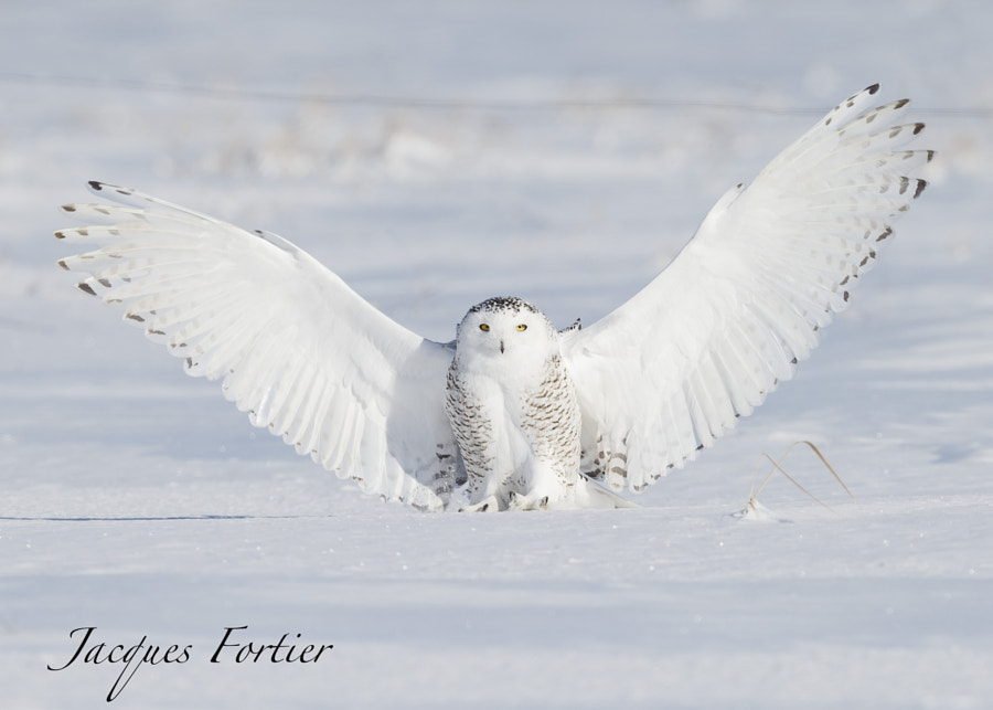 SNOWY OWL by jacques fortier on 500px.com