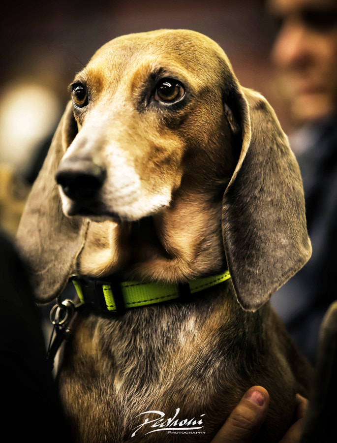 Italian Hound by Roberto Pedroni on 500px.com