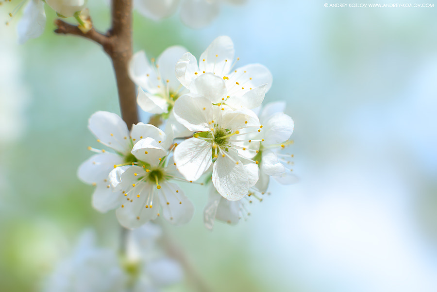 Cherry Flowers by Andrey Kozlov on 500px.com