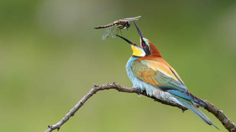 European Bee-eater by Vitalii Otroshko