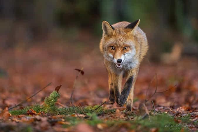 Fox in the forest by Stanislav Duben