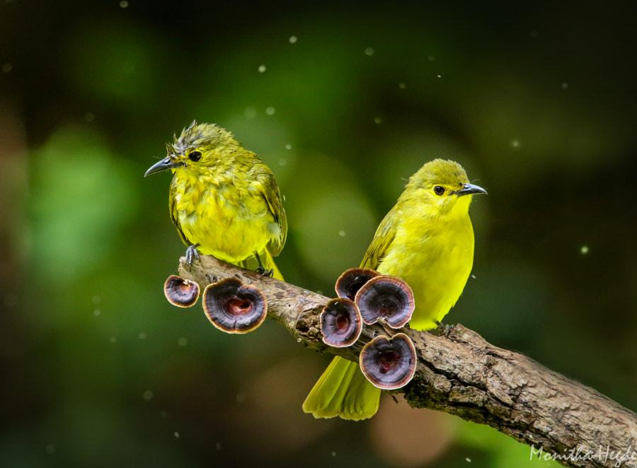 Yellow-browed bulbul by Monitha Hegde on 500px.com