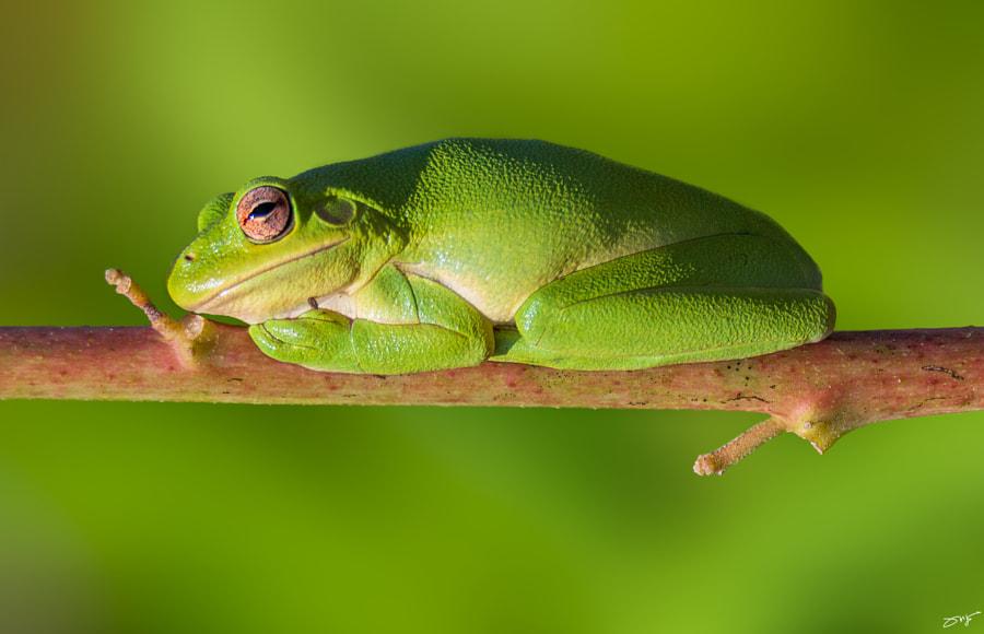 Tree Frog by Kyaw Tun on 500px.com