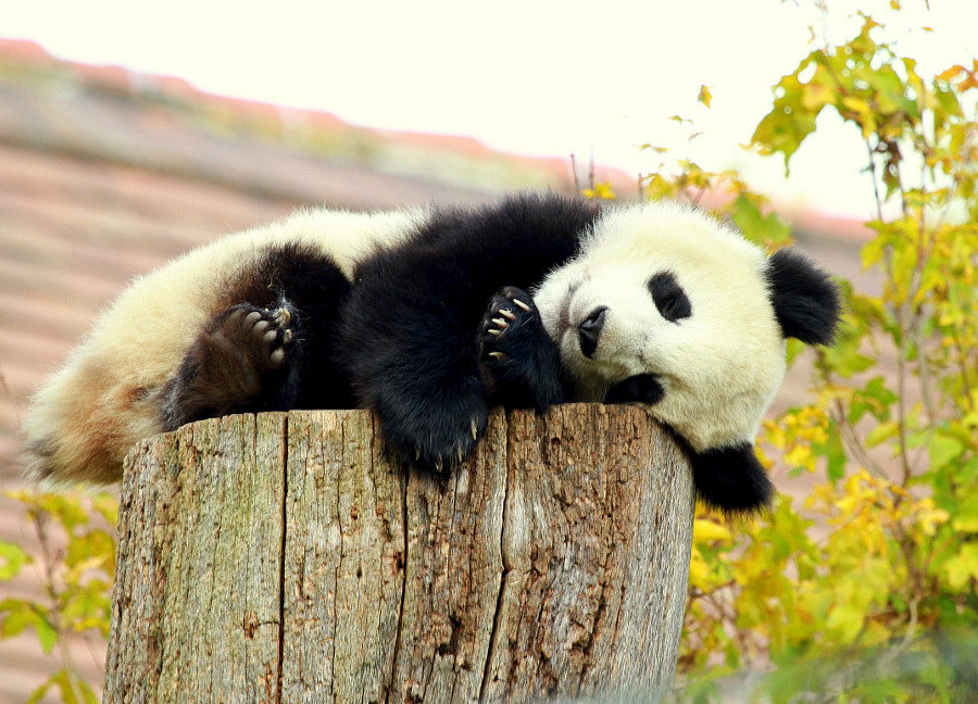 Photograph Sweet Panda boy Fu Bao sleeping by Rainer Leiss on 500px