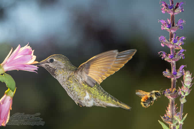 Hummingbird and a bumblebee visit flowers by William Freebilly photography
