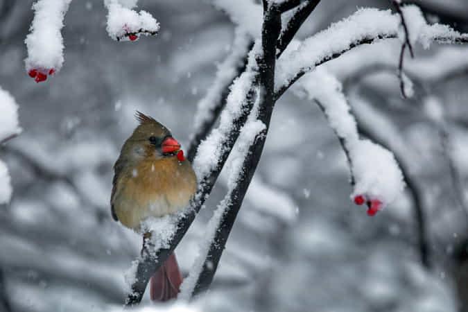 Cardinal by Jon Albert