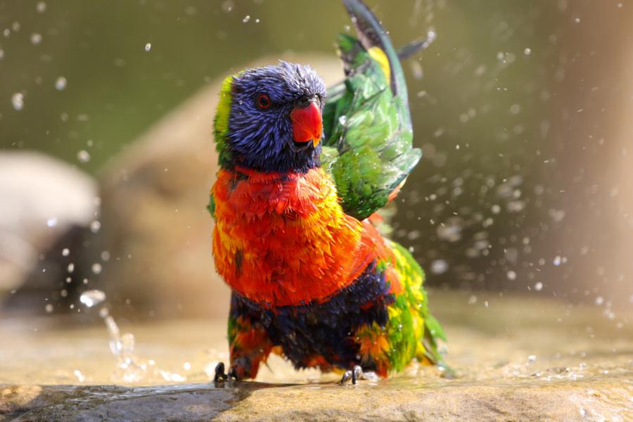 Rainbow lorikeet shaking wings after bathing by Kseniya Murach on 500px.com