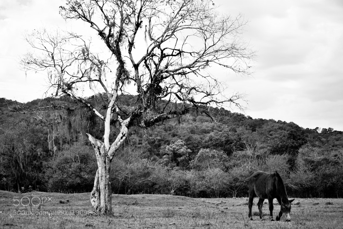 Photograph The horse and the old tree by Josué Braun on 500px