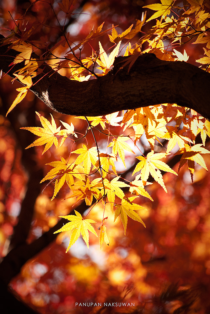 Photograph MOMIJI by Panupan Naksuwan on 500px