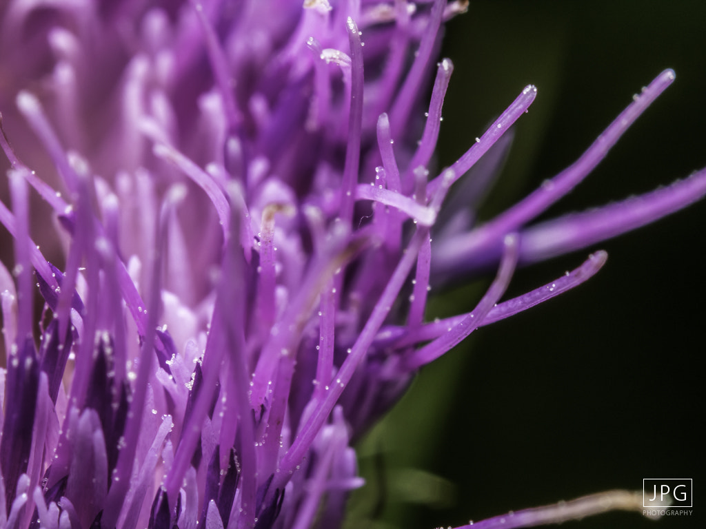 Photograph Wild Purple Thistle Weed by Jason Grasshoff on 500px