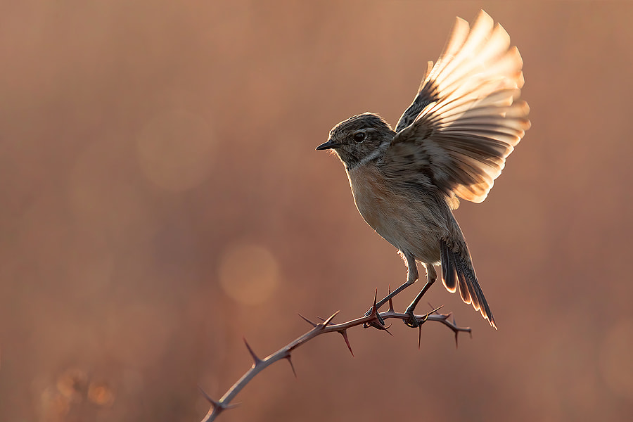 Stonechat Backlight by Lorenzo Magnolfi on 500px.com