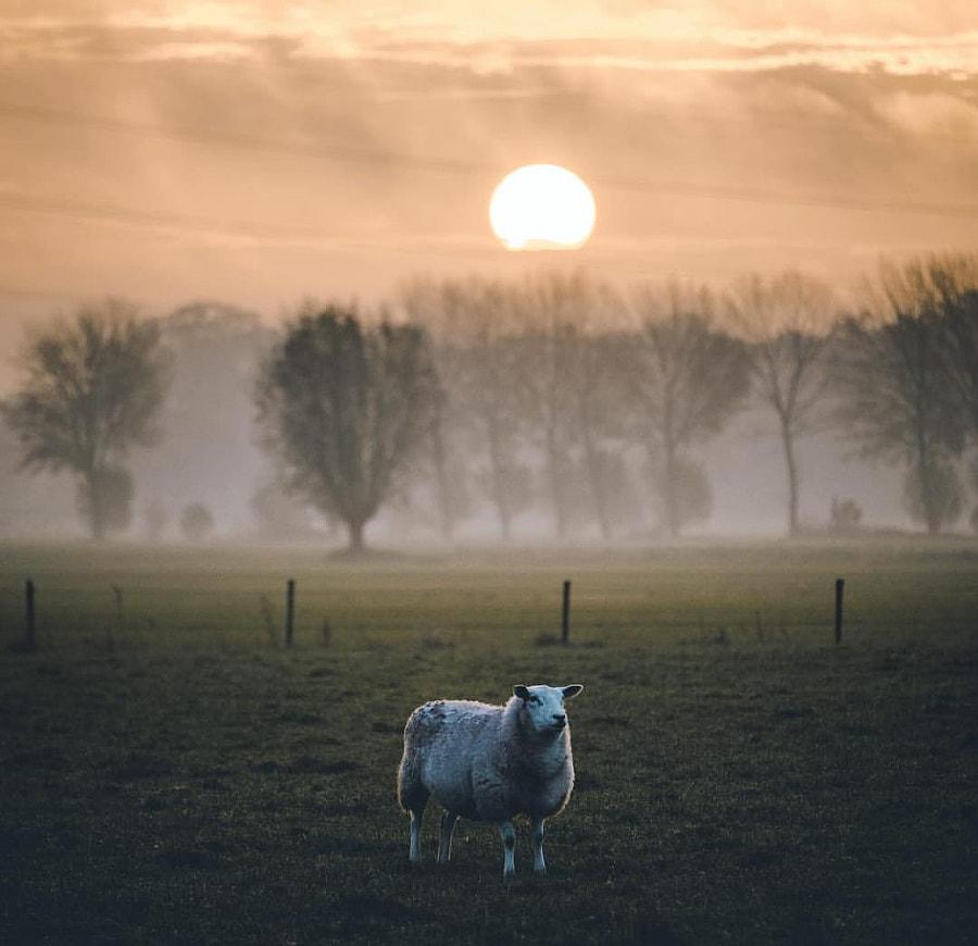 The sheep. Photographer Jessica Adan