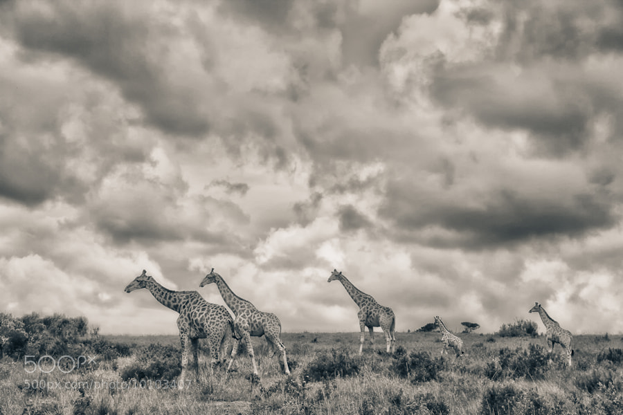Photograph Giraffes of Kariega by Mario Moreno on 500px