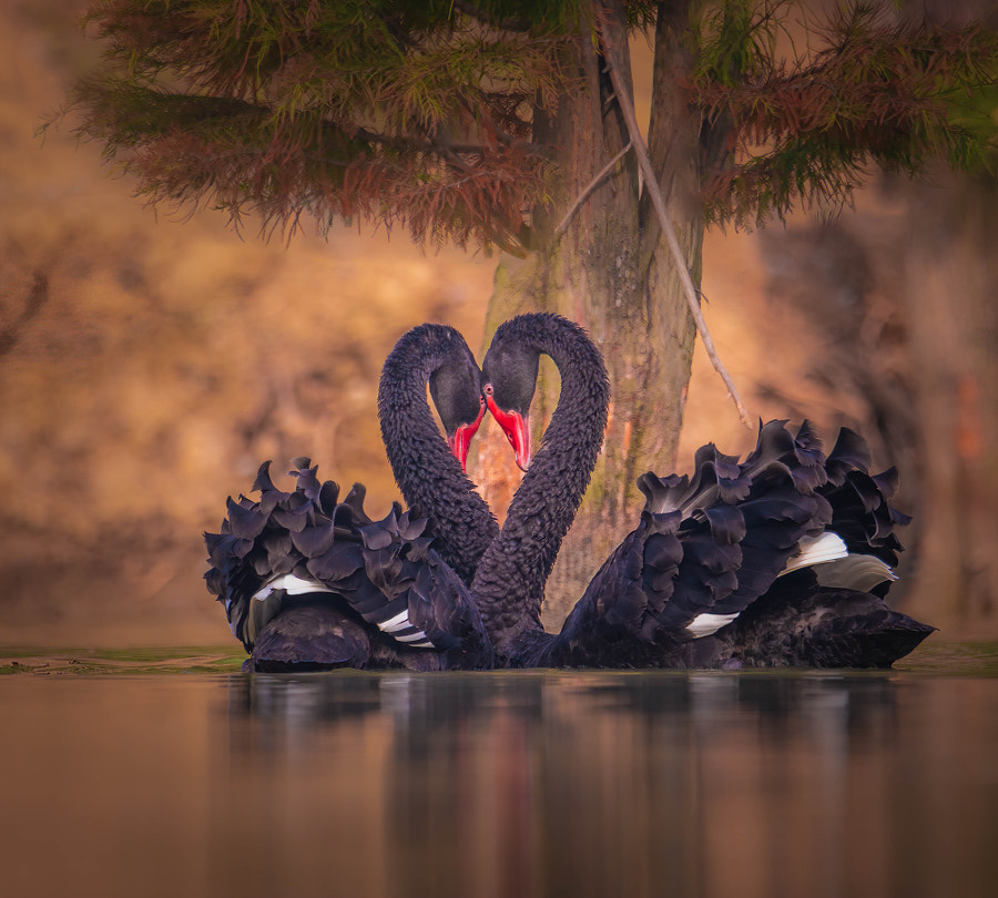Black Swans in Courtship by John S on 500px.com