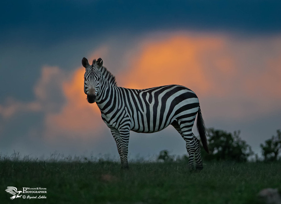 Evening in the Masai Mara by Øyvind Løkka on 500px.com