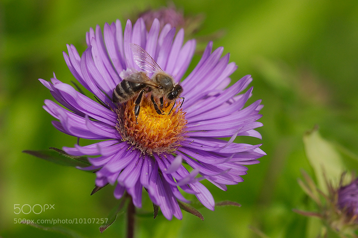 Photograph Bee on an aster by Gerhard Müller on 500px
