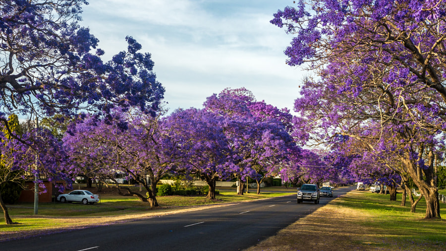 Photograph Grafton's Jacaranda mimosa by Travis Chau on 500px