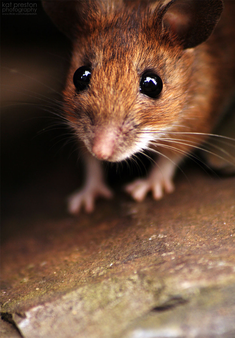 Photograph House Mouse II by Kat Preston on 500px